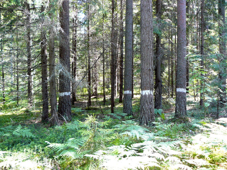 Реликтовые леса (Сосновый бор) — ботанический памятник природы