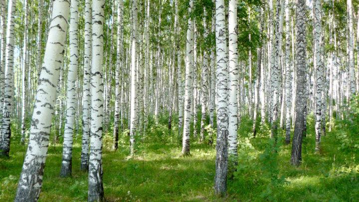 Реликтовые леса (Березовая роща) — ботанический памятник природы