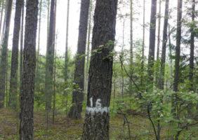 roshcha-listvennitsy-sibirskoy-5
