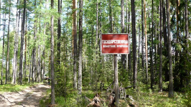 Роща лиственницы сибирской — ботанический памятник природы